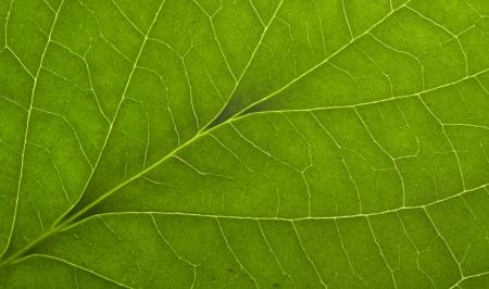 full frame macro detail of a green translucent leaf Stock Photo - 14935605