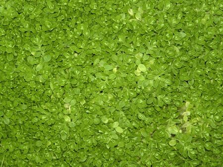 vegatation: green dense cover of vegatation with small leaves