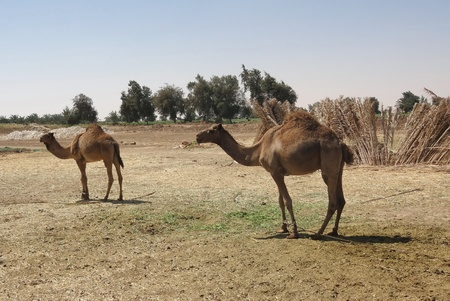 camels in sunny arid ambiance seen in Egypt photo
