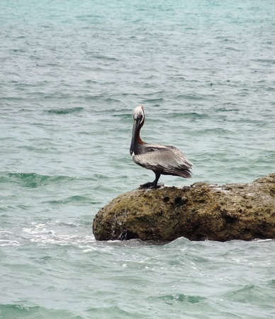 a Pelican waterside in Florida photo