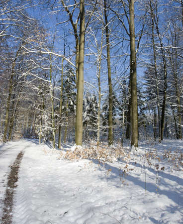 snowbound: snowbound forest at evening time in Hohenlohe  Southern Germany