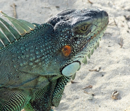 guadeloupe: portrait of a Green Iguana seen at the beach in Guadeloupe (Caribbean) at evening time