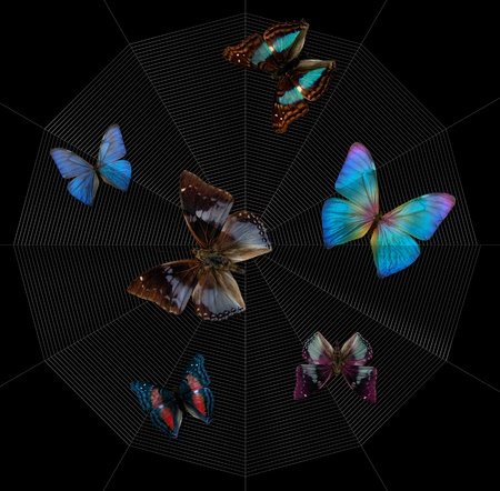 chatoyant: various colorful butterflies caught in a spider orb web in black back