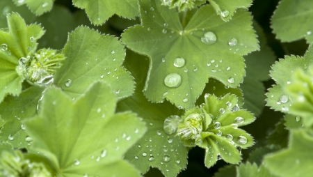 surface tension: repellent green leaf with water drops roll-off Stock Photo