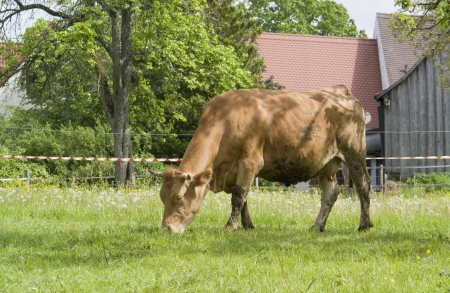 sunny rural scenery including a brown cow photo