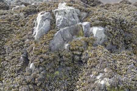 rock formation: algae overgrown rock formation in Brittany  France  Stock Photo