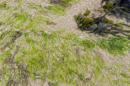 moistness: dettaglio costiero compreso alga verde fresco, visto in Bretagna, Francia