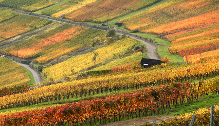 idyllic rural autumn scenery with lots of colorful vineyards at the Kochertal in Southern Germany
