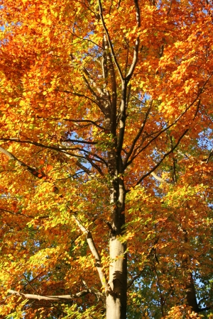 wierzchołek drzewa: sunny illuminated vibrant colored orange treetop in front of blue sky at autumn time