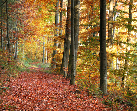 colorful autumn scenery in a forest in Southern Germany photo