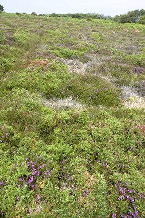 heathland: heathland at Cap Frehel in Brittany, France Stock Photo