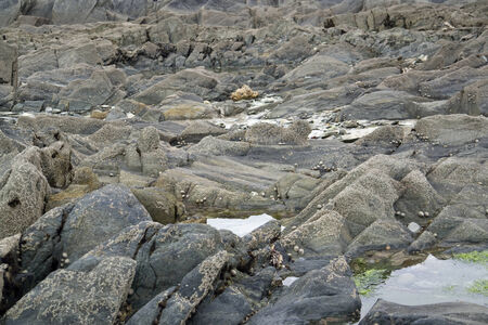 lots of barnacles at a rock formation in Brittany, France