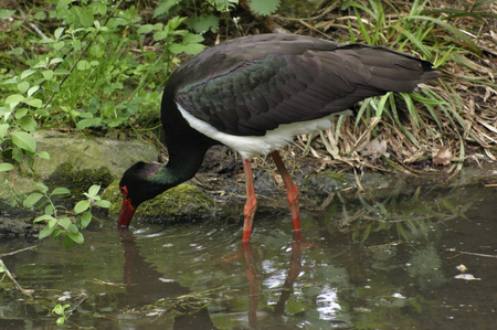 black stork: orilla paisaje que muestra un vadeo cig�e�a Negro en ambiente natural