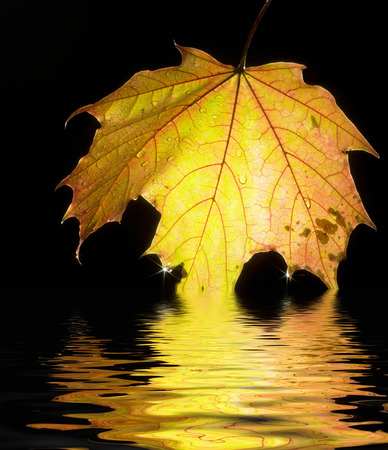 sinking bright illuminated autumn leaf on reflective water surface in black back Stock Photo