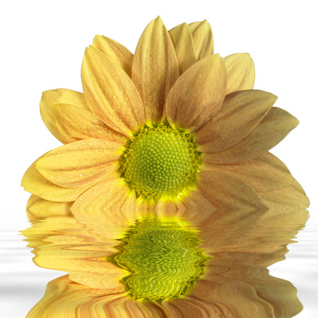 sunken yellow flower on reflective water surface in white back Stock Photo