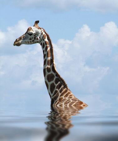 moistness: detail of a Rothschild Giraffe on reflective water surface