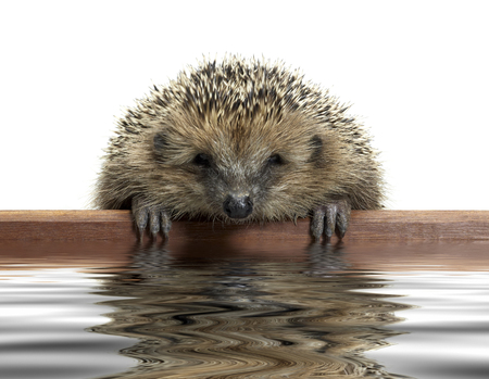 clambering: a young hedgehog looking over a wooden panel on reflective water surface