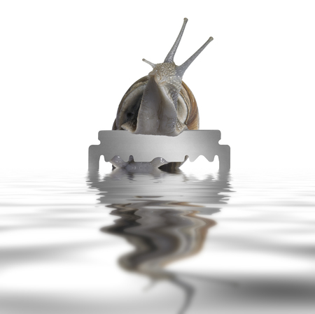 moistness: Grapevine snail reachin out on a razor blade on reflective water surface in white back Stock Photo