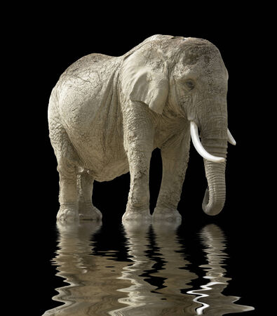 moistness: african elephant on mirroring water surface in black back