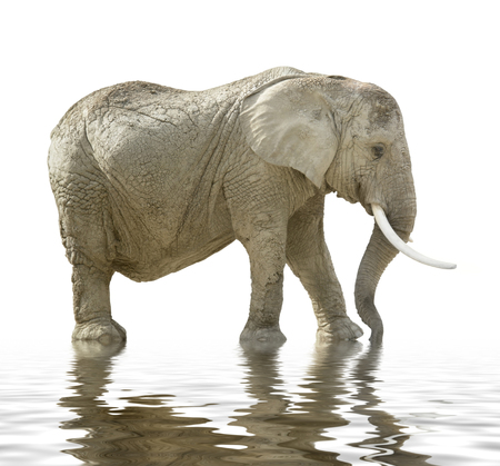 moistness: african elephant on mirroring water surface in white back Stock Photo