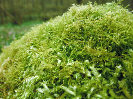 dense mats: detail of a moss overgrown tree trunk