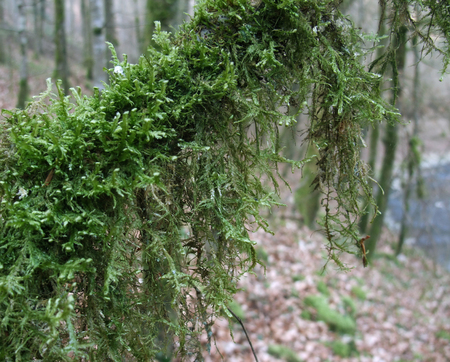 dense mats: detail of a moss overgrown bough in forest ambiance
