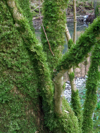 dense mats: detail of some moss overgrown branches in forest ambiance Stock Photo