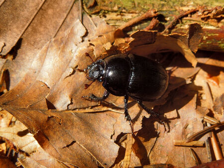a dor beetle in natural ambiance photo
