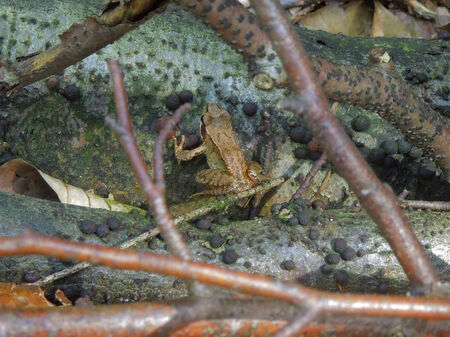 twiggy: small common frog in twiggy ambiance