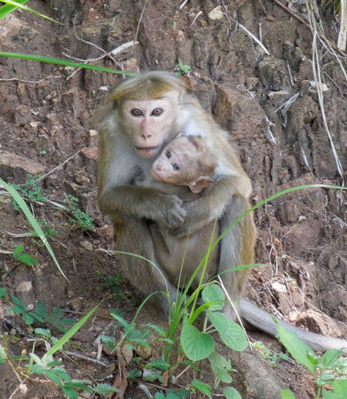 toque: Toque Macaque monkey named with pup seen in Sri Lanka Stock Photo