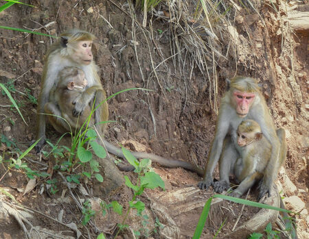 toque: Toque Macaques monkeys named with pup seen in Sri Lanka