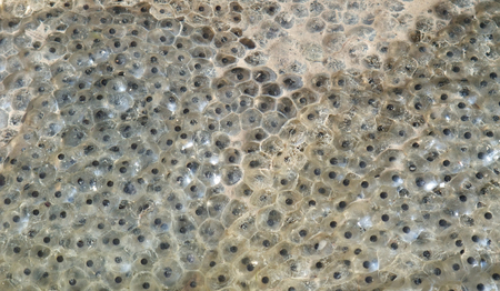 spawn: fresh frog spawn closeup at early springtime