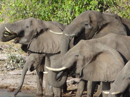 riparian: riparian scenery showing a herd of elephants in Botswana, Africa Stock Photo