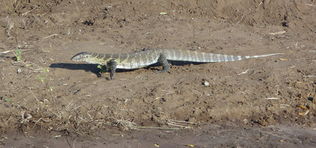 niloticus: riparian scenery including a Nile monitor seen in Botswana, Africa