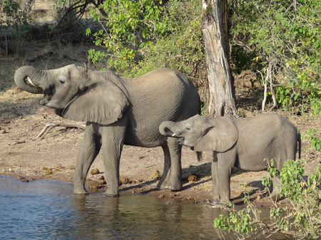 riparian scenery with elephants seen in Botswana, Africa photo