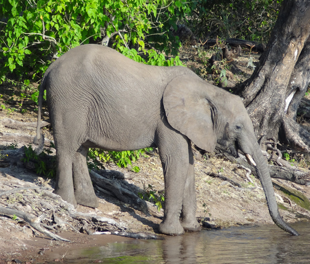 riparian scenery with elephant seen in Botswana, Africa photo