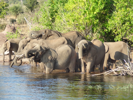 riparian scenery showing a herd of elephants in Botswana, Africa photo