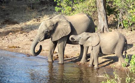 riparian: riparian scenery with elephants seen in Botswana, Africa