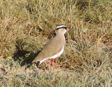lapwing: bird named Crowned lapwing seen in Botswana, Africa
