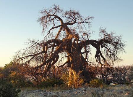 chestnut tree: evening scenery with chestnut tree at Kubu Island in the Makgadikgadi Pan area of Botswana, Africa Stock Photo