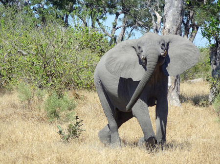 the game reserve: Elephant in the Moremi Game Reserve in Botswana, Africa