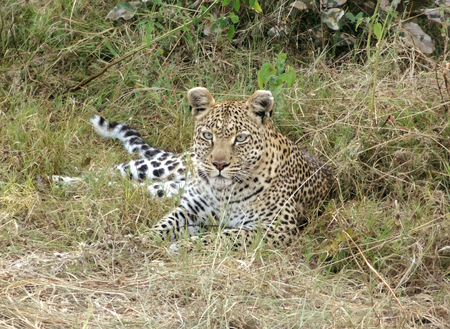 game reserve: a leopard resting on the ground in the Moremi Game reserve in Botswana, Africa Stock Photo