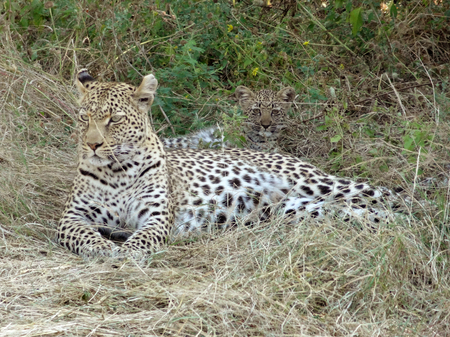 the game reserve: a leopard and kitten resting on the ground in the Moremi Game Reserve in Botswana, Africa