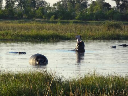 the game reserve: some Hippos in a river at the Moremi Game reserve in Botswana (Africa) at evening time
