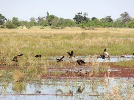the game reserve: a water hole and some birds at the Moremi Game Reserve in Botswana, Africa Stock Photo