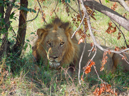 chobe national park: a lion resting at the Savuti Marsh area in the Chobe National Park in Botswana, Africa