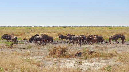 chobe national park: herd of wildebeests at the Savuti Marsh area in the Chobe National Park in Botswana, Africa Stock Photo