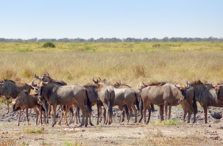 african wildebeest: herd of wildebeests at the Savuti Marsh area in the Chobe National Park in Botswana, Africa Stock Photo