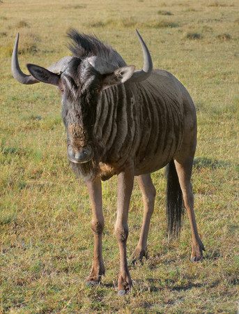 wildebeest: savanna scenery including a Wildebeest in South Africa