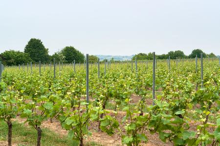 winegrowing: idyllic scenery at the wine region Rheinhessen around Loerzweiler in the Rhineland-Palatinate in Germany